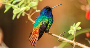 Bronzeschwanzsaphir – Kolibri in Regenbogenfarben