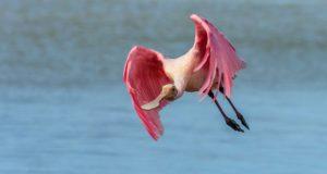 Rosalöffler – Schreitvogel in Pink