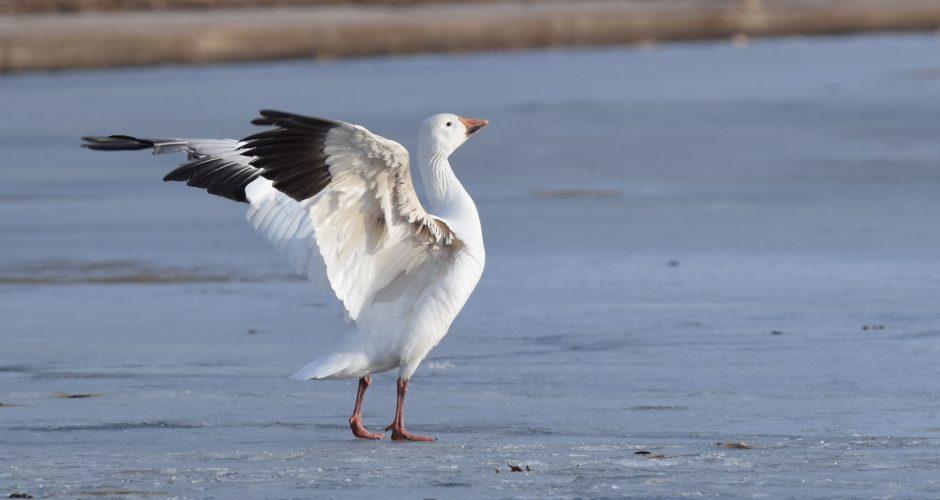 Schneegans – Zweifarbiger Zugvogel