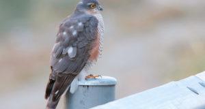 Greifvögel unterscheiden, Teil 5: Sperber und Habicht