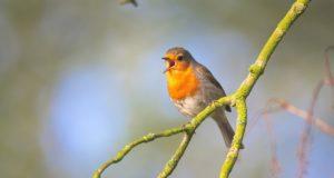 Wie Singvögel ihren Gesang erzeugen