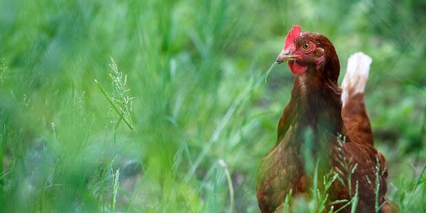 Neue Variante der Vogelgrippe bei Menschen entdeckt