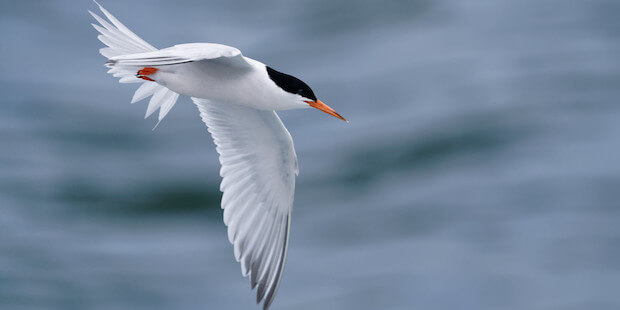 Die Rosenseeschwalbe – hübscher Vogel und kleiner Dieb
