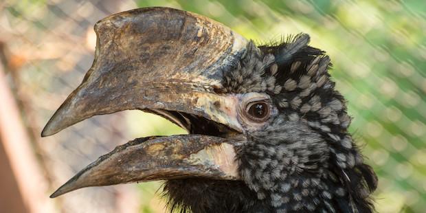 Silberwangenhornvogel – Afrikaner mit außergewöhnlicher Bruttaktik