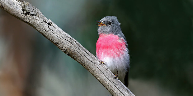 Der Rosenbrust-Schnäpper – pinkfarbener Insektenspezialist