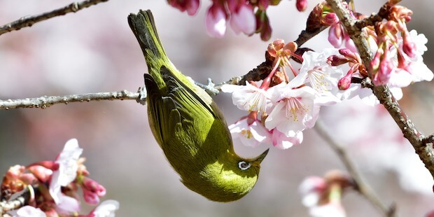 Der Japanbrillenvogel – Kleiner Akrobat