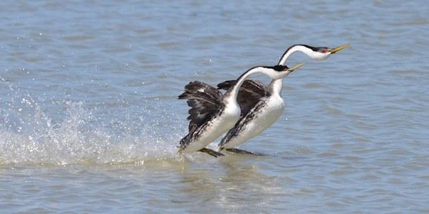 Verrückte Balzrituale aus der Vogelwelt