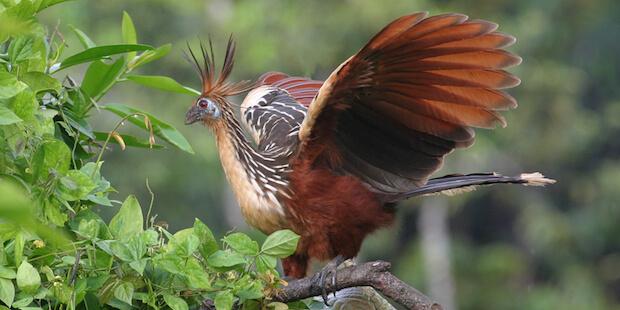 Der Hoatzin – Rülpsender Urwaldpunk