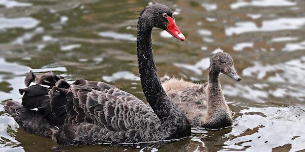 Der Trauerschwan – Ein echter Aussie