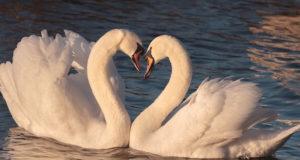 Homosexualität im Vogelreich