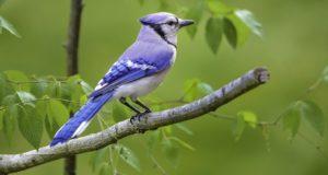 Der Blauhäher – Ein Farbspezialist