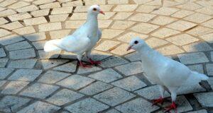 Pigmentstörungen bei Vögeln