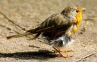 Die Mauser der Vögel – Aus alt mach neu