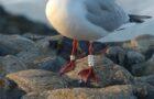 Die Beringung von Vögeln