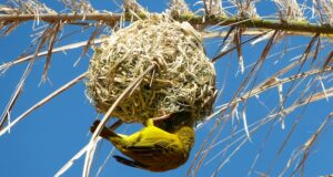 Die Nester der Webervögel