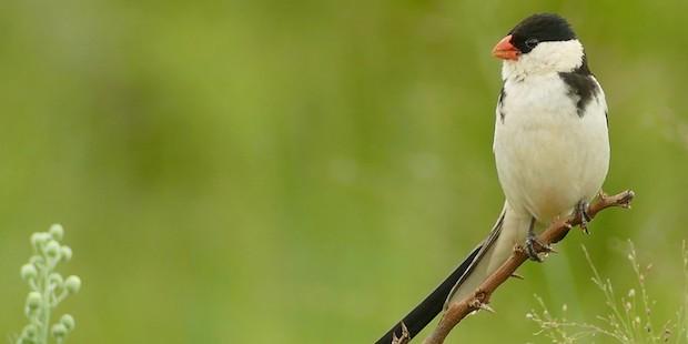Das clevere Spiel der Witwenvögel
