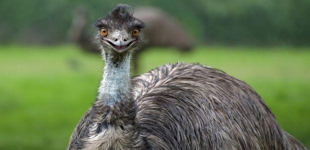 Der Emu – Läufer statt Flieger