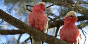 Der Kakadu – Geselliger Kletterer