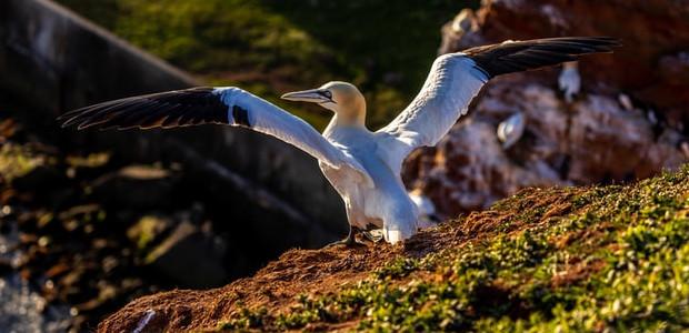 Die Vogelwelt auf Helgoland
