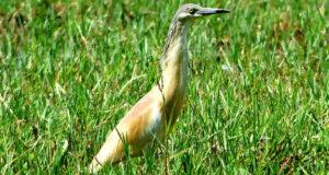 Der Rallenreiher – Schillernder Zugvogel